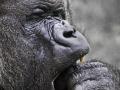 Gorilla Silverback