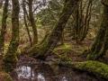 Ancient Forrest -Cradle Mt - Tasmania