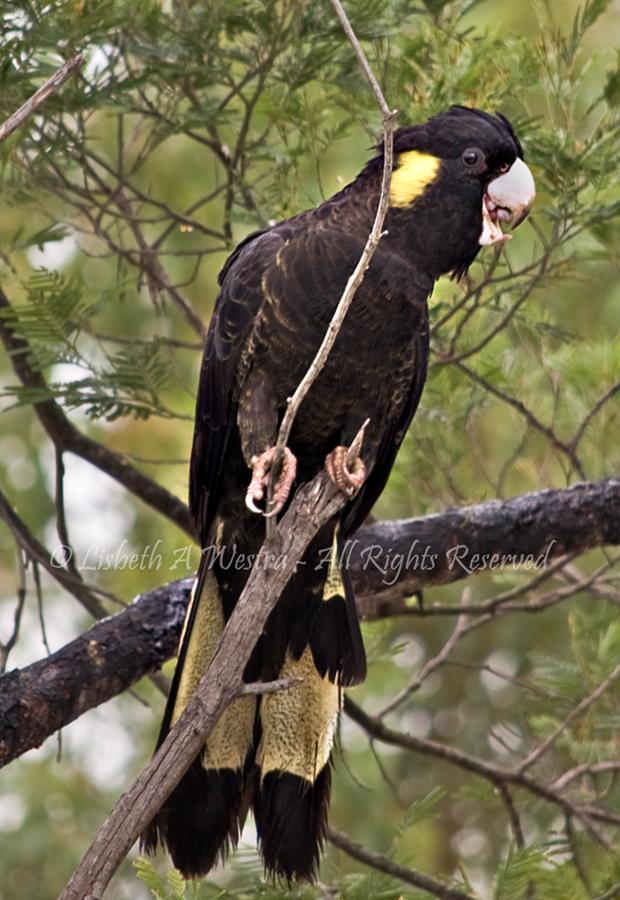 Yellow-tail Black Kookatoo