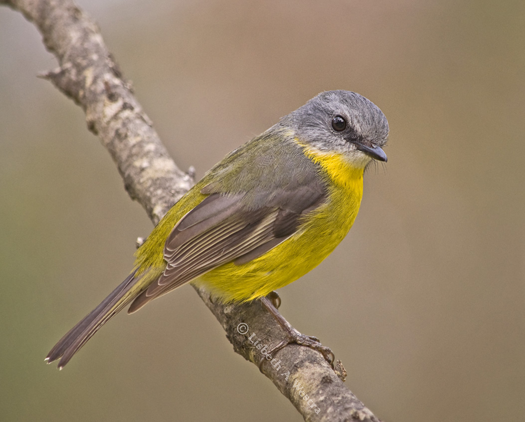 Estern Yellow Robin