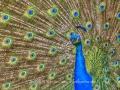 Indian Peafowl - Pavo cristatus Intro - Peacock