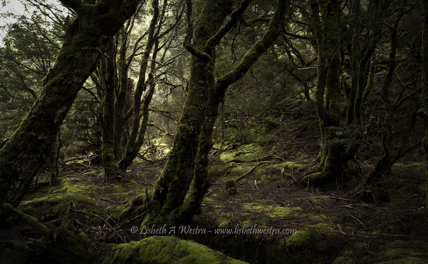 Ancient Forest, Tasmania