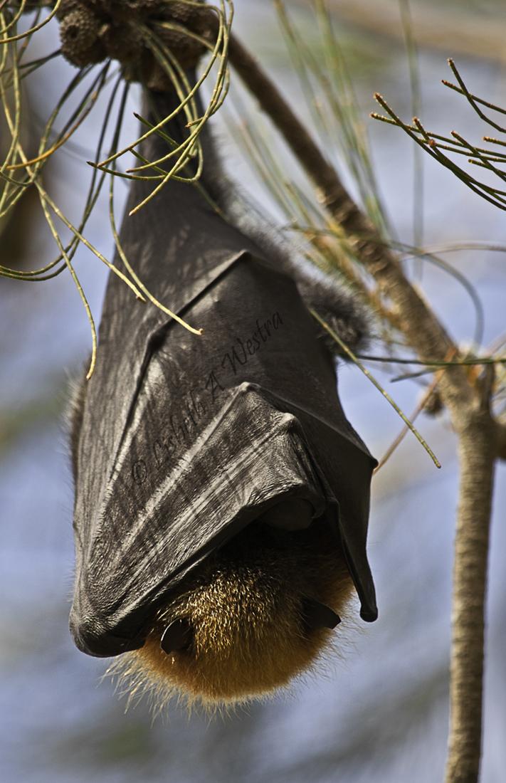Mega Bat
