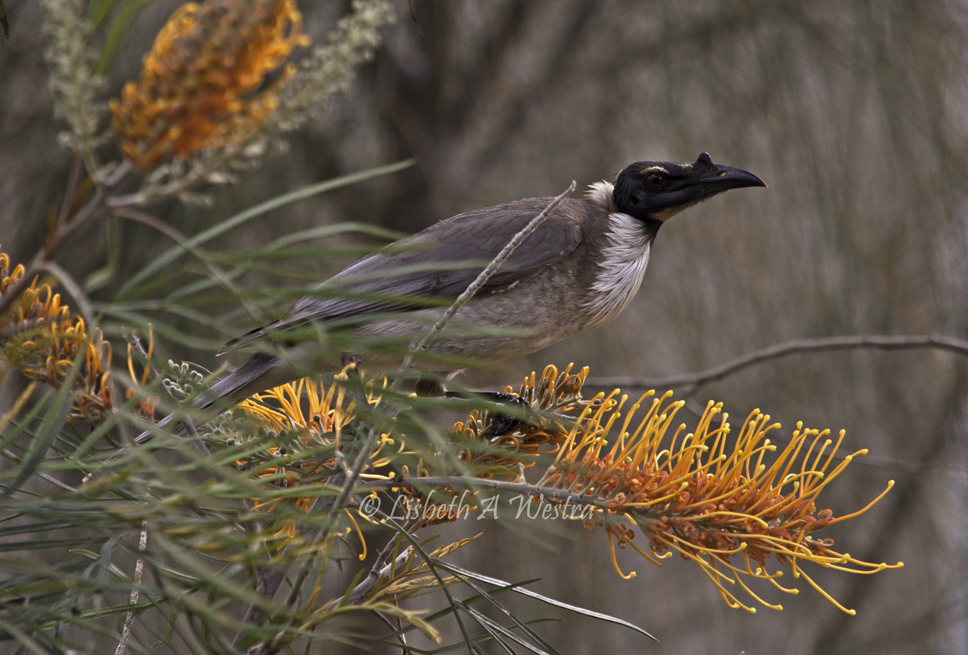 Noicy Friarbird