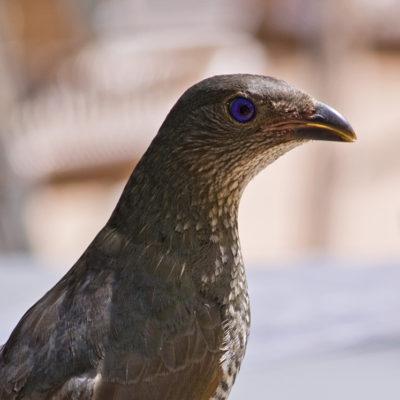 Satin Bowerbird, female