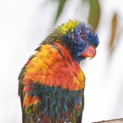 Rainbow Lorikeet - wet