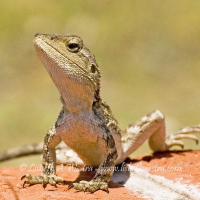 Jacky Lizard (Amphibolurus muricatus) - the common dragon in eastern Australia