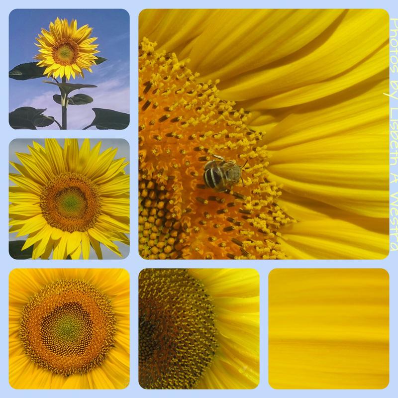 Sunflower Medley