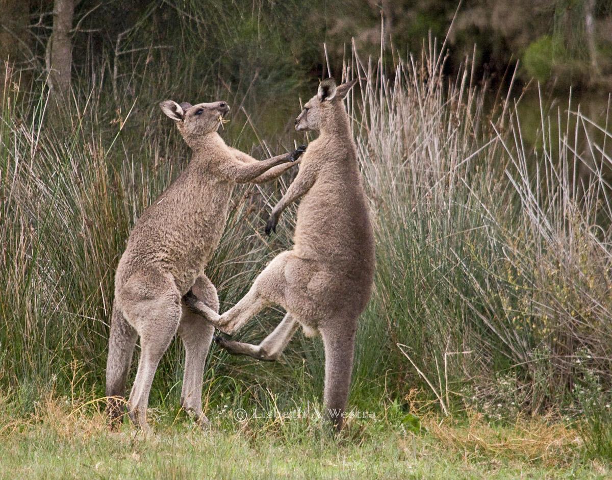 Eastern Grey Kangaroos Fighting