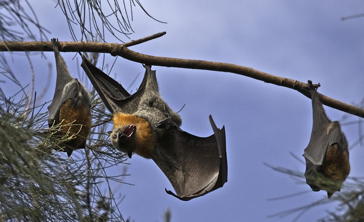Mega Bats/Fruit Bats